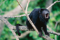 Male black howler monkey (Alouatta caraya) calls out while perched in a tree in Pantanal, Brazil.