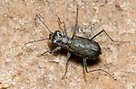 S-banded Tiger Beetle (Cicindelidia trifasciata ascendens), Lake Texoma, Oklahoma, USA