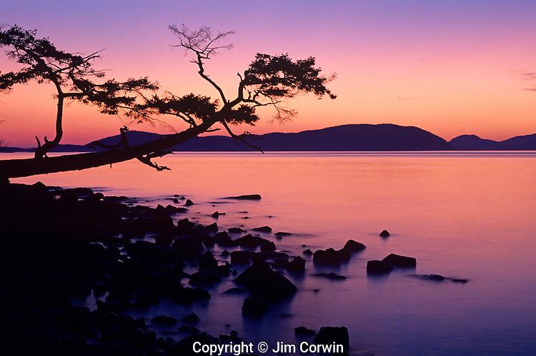 Silhouetted tree sunset Washington Park west of Anacortes Washington state USA