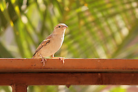 Stock image of a house sparrow sitting on the edge of a bird-feeder.