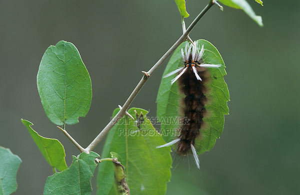 Moth caterpillar, Sabal Palm Sanctuary, Rio Grande Valley, Texas, USA, May 2001