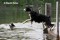 0808-0805  English Springer Spaniel Jumping off Dock into Water, Canis lupus familiaris © David Kuhn/Dwight Kuhn Photography.