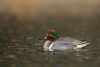 Green-winged Teal, Anas crecca, adult swimming, Hill Country, Texas, USA, April 2007