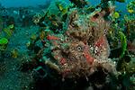 Painted frogfish, Anntenarius pictus, Lembeh Strait, Bitung, Manado, North Sulawesi, Indonesia, Pacific Ocean
