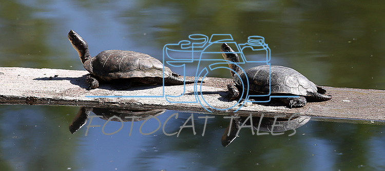 Turtles sun along the edge of Jake's Wetlands in Minden, Nev., on Wednesday, May 9, 2018. <br />Photo by Cathleen Allison/Nevada Momentum