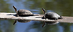 Turtles sun along the edge of Jake's Wetlands in Minden, Nev., on Wednesday, May 9, 2018. <br />