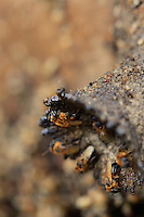 The entrance to a hive of the a stingless bee, Melipona seminigra, is marked by a wide tube  made of clay and resin to protect the colony from enemies. For extra security, a dozen bees continuously mount guard around the corolla and inside part of the tube.