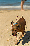 Sands Point, New York, U.S. - July 5, 2014 - A person is walking her chihuahua on leash along sandy shoreline at Sands Point Preserve on the North Shore Gold Coast on Long Island Sound. The public beach had many visitors this Saturday of Independence Day Weekend when sunny warm weather arrived after the rainy July 4th.