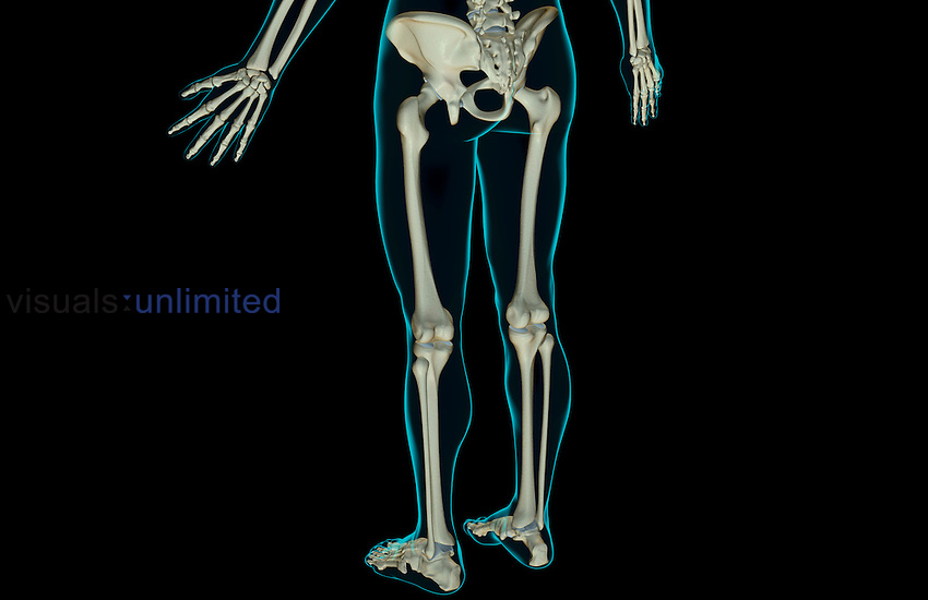 A posterolateral view (left side) of the bones of the lower body. The surface anatomy of the body is semi-transparent and tinted green. Royalty Free