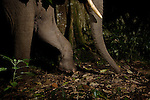 African Elephant (Loxodonta africana) walking through rainforest at night, Kibale National Park, western Uganda