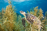 hawksbill sea turtle, Eretmochelys imbricata, critically endangered species, Bonaire, Netherland Antilles, Caribbean Sea, Atlantic Ocean