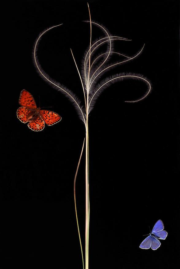 European Feather grass, Stipa pennata (= S. joannis), with Escher&rsquo;s Blue butterfly, Polyommatus escheri, and Niobe Fritillary, Argynnis niobe var. eris. <br /> Stenje region Lake Macro Prespa, 1300m elevation. <br /> Galicica National Park, Macedonia, June 2009<br /> Mission: Macedonia, Lake Macro Prespa /  Lake Ohrid, Transnational Park<br /> David Maitland / Wild Wonders of Europe