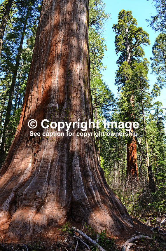 Sequoias, California redwoods, Calaveras Big Trees State Park, California, USA, 201304211669<br /> <br /> Copyright Image from Victor Patterson,<br /> 54 Dorchester Park, <br /> Belfast, UK, BT9 <br /> <br /> t1: +44 28 9066 1296 (from Rep of Ireland 048 90661296)<br /> t2: +44 28 9002 2446 (from Rep of Ireland 048 9002 2446)<br /> <br /> m: +44 7802 353836<br /> <br /> e: victorpatterson@me.com<br /> www.victorpatterson.com<br /> <br /> Please see my Terms and Conditions of Use at www.victorpatterson.com. It is IMPORTANT that you familiarise yourself with them.<br /> <br /> Images used on the Internet must be visibly watermarked i.e. &copy; Victor Patterson<br /> within the body of the image and copyright metadata must not be deleted. Images <br /> used on the Internet have a size restriction of 4kbs and will be chargeable at current<br />  NUJ rates unless agreed otherwise.<br /> <br /> This image is only available for the use of the download recipient i.e. television station, newspaper, magazine, book publisher, etc, and must not be passed on to any third <br /> party. It is also downloaded on condition that each and every usage is notified within 7 days to victorpatterson@me.com<br /> <br /> The right of Victor Patterson to be identified as the author is asserted in accordance with The Copyright Designs And Patents Act (1988). All moral rights are asserted.