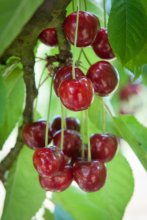 Cherry 'Hudson', mid July. A dark, late-season sweet cherry selected as a seedling in 1935 and introduced as a variety in 1964 from the NY State Agricultural Experiment Station in Geneva, NY.
