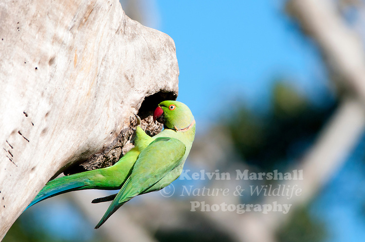 Rose-ringed parakeet (Psittacula krameri), also known as the ring-necked parakeet, is a gregarious tropical Afro-Asian parakeet species that has an extremely large range.he rose-ringed parakeet is sexually dimorphic. The adult male sports a red or black neck-ring and the hen and immature birds of both sexes either show no neck rings, or display shadow-like pale to dark grey neck rings. Indian rose-ringed parakeets measure on average 40 cm (16 in) in length including the tail feathers, a large portion of their total length. Their average single wing length is about 15–17.5 cm (5.9–6.9 in). In the wild, this is a noisy species with an unmistakable squawking call and a distinctive green colour. It is herbivorous and non-migrating. Bundala National Park - Sri Lanka.
