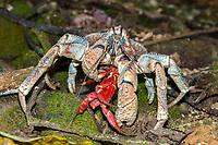 coconut crab, robber crab, or palm thief, Birgus latro, feeding on Christmas Island red crab,, Christmas Island, Australia