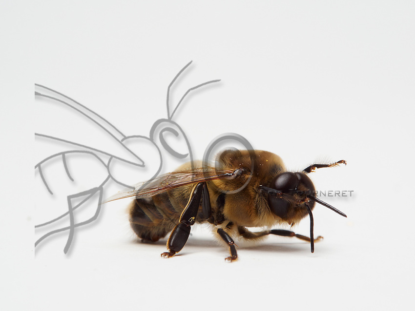 Veritable athletes built for flight, the male bees do not have a stinger and their tongue is very short. Their eyes have 8,000 facets while those of the worker bees have only 5,000. Its olfactory system with antennas longer by one segment is more efficient than that of the females. It has a longer range for the fertilization flight and a reproductive apparatus.<br /> Its abdomen is fatter and more rounded than that of the worker bee. It measures approximately 220mg as opposed to 100mg for a foraging bee. The males carry out several fertilization flights, most often 2 or 3, but they are capable of performing up to 5 in one afternoon. Before taking flight, the males clean their antennas and their eyes, most of the time at the entrance to the, but they also make those flights during the swarming, before a new hive has been found. The drones carry out two distinct fights: one for orientation and one for the fertilization. The orientation flights are short, lasting 1 to 6 minutes (Howell and Usinger, 1933). They help to locate the hive in its environment and also serve as a cleansing flight because the males defecate during it (Howell and Usinger, 1933). The fertilization flights are carried out by the mature males and last longer: 32.56 &plusmn; 22.49 minutes (Witherell, 1971).<br /> V&eacute;ritables athl&egrave;tes taill&eacute;s pour le vol, le male d&rsquo;abeille n'a pas de dard et leur langue est tr&egrave;s courte. Ses yeux comportent 8 000 facettes alors que ceux des ouvri&egrave;res n'en ont que 5 000. Son syst&egrave;me olfactif avec des antennes plus longues d&rsquo;un segment est plus performant que celui des femelles. Il a un rayon d'action plus &eacute;tendu pour le vol de f&eacute;condation et d'un appareil reproducteur.<br /> Son abdomen plus gros et arrondi que celui de l&rsquo;ouvri&egrave;re. Il est environ 220mg contre 100mg pour une butineuse. Les m&acirc;les effectuent plusieurs vols de f&eacute;condation, le plus souvent 2 ou 3, mais ils sont capables d&rsquo;en effectuer jusqu&rsquo;&agrave; 5 en une apr&egrave;s-midi. Avant de prendre leur envol, les m&acirc;les nettoi