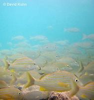 0111-1202  School of Blue Striped Grunts in Caribbean Reef, Haemulon sciurus  © David Kuhn/Dwight Kuhn Photography