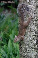 0208-08yy  Gray Squirrel Climbing Down Tree, Sciurus carolinensis - © David Kuhn/Dwight Kuhn Photography