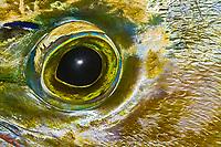 Eye of Mahi Mahi, Dolphinfish, or Dorado, Coryphaena hippurus, off Kona Coast, Big Island, Hawaii, Pacific Ocean