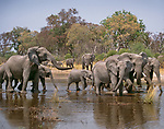 African elephants at watering hole, Okavango Delta, Botswana