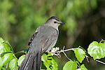 Gray catbird (Dumetella carolinensis) perched on a branch