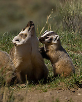 American Badger (Taxidea taxus) Natal dens are dug by the female and are used for extended periods, but litters are often moved several times, probably to allow the mother to forage in new areas close to the nursery. Natal dens are usually larger and more complex than regular day dens.