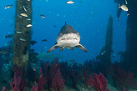 TP0337-D. Sand Tiger Shark (Carcharias taurus) swimming inside the shipwreck of the Aeolus, a 409-foot long tanker sunk on purpose in 1988 to create an artificial reef. This species is ovoviviparous (also called aplacental viviparity), which means that after fertilization of the eggs, the young sharks develop inside the mother while encapsulated in their shells, nourished by attached egg yolks. Later, when the eggs hatch, the pups are expelled from the uterus as miniature near replicas of the adult, ready to live life on their own. North Carolina, USA, Atlantic Ocean.<br /> Photo Copyright &copy; Brandon Cole. All rights reserved worldwide.  www.brandoncole.com