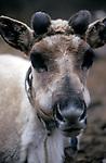 Tsaatan reindeer in Northern outer Mongolia/ Russian border.