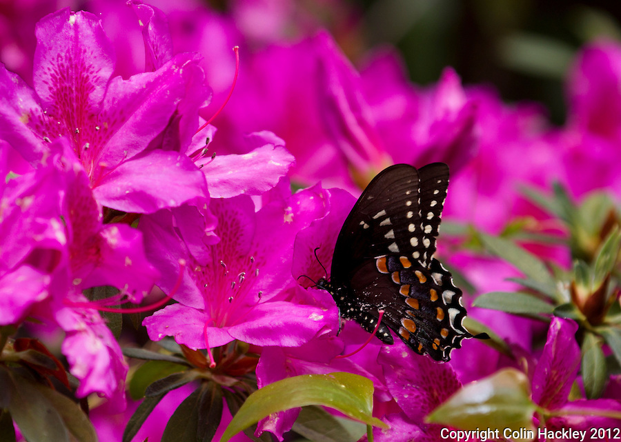 AZALEAS ABLOOM: A Black Swallow Tail Butterfly enjoys a blooming azalea in Downtown Monticello...COLIN HACKLEY PHOTO