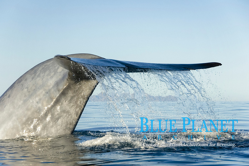 Blue whale,(Balaenoptera musculus), Endangered Gulf of California Mexico, Pacific Ocean