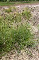 Borstgras, Borst-Gras, Hirschhaar, Bürstling, Nardus stricta, Mat Grass, Mat-Grass, moor matgrass, nard grass