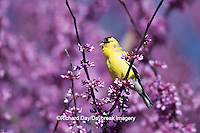 01640-15812 American Goldfinch (Carduelis tristis) male in Eastern Redbud (Cercis canadensis) in spring, Marion Co., IL