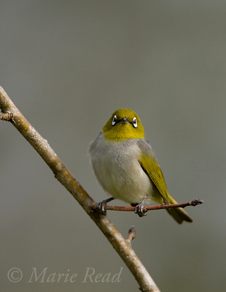 Silvereye (Grey-backed) Zosterops lateralis (Race vegetus?), Atherton Tableland, Queensland, Australia. Cropped from original.