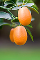 Oval kumquats, also known as Fortunella margarita or Nagami kumquat.