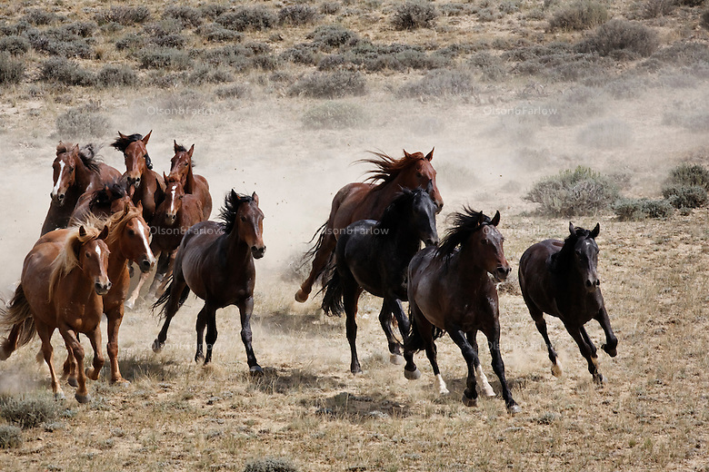 Wild horses run in western Wyoming.