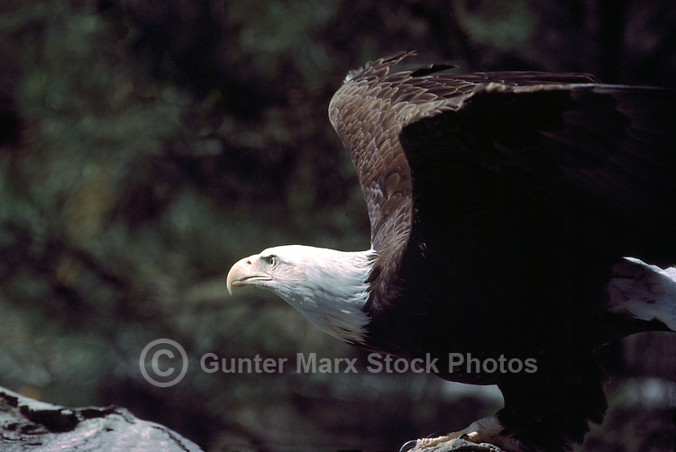 Mature Adult Bald Eagle (Haliaeetus leucocephalus) perched on Tree Stump and ready for Take Off