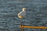 snowy egret in wetland near Woodland