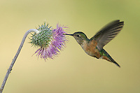 Broad-tailed hummingbird - Selasphorus platycercus - Adult female