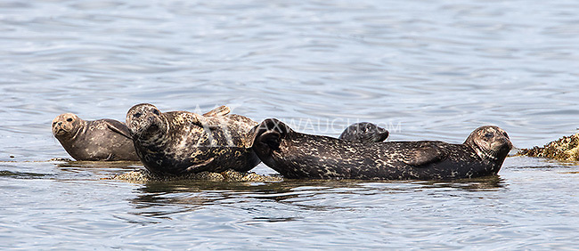 """Harbor seals (aka, """"Rock Sausages"""") are a common sight in BC, but can be difficult to photograph at close range."""