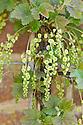 Whitecurrant cordon in flower, late April.
