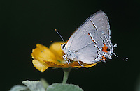 Gray Hairstreak, Strymon melinus, male on Bastardia (Bastardia viscosa) , Starr County, Rio Grande Valley, Texas, USA