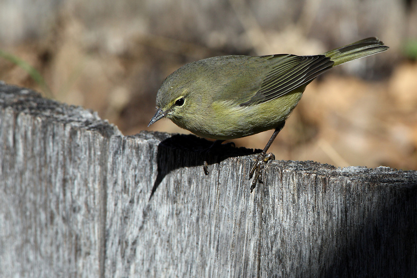 These birds are distinguished by their lack of wing bars, streaking on the underparts, strong face marking or bright colouring, resembling a fall Tennessee Warbler.