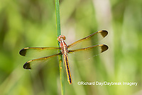 06618-00217 Yellow-sided Skimmer (Libellula flavida) female Cottonmouth Fen Ripley Co. MO