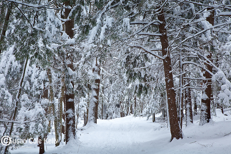 Fresh snow on the hemlock grove at Vaughan Woods State Park in South Berwick, ME, USA