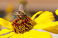 A bee with full pollen baskets dives into the flowers of a brittlebush composite flower.  The yellow and red flower stand out beautifully from the background, and flowers can be seen in closed, just opening, and fully open states.