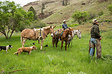 USA, Oregon, Joseph, Cowboys Todd Nash and Cody Ross rope and work on a calf in the canyon up Big Sheep Creek in Northeast Oregon