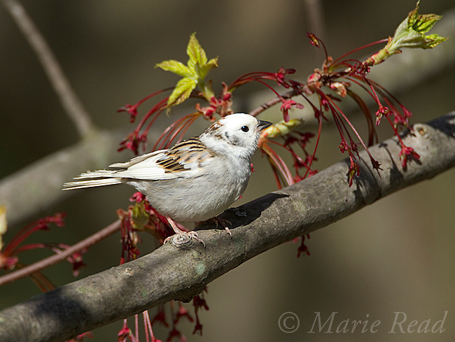 Chipping Sparrow (Spizella passerina), leucistic individual, spring, New York, USA