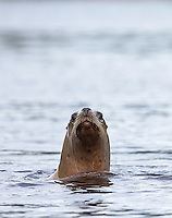 Steller sea lions are among the many marine mammal species that call the Great Bear Rainforest home.
