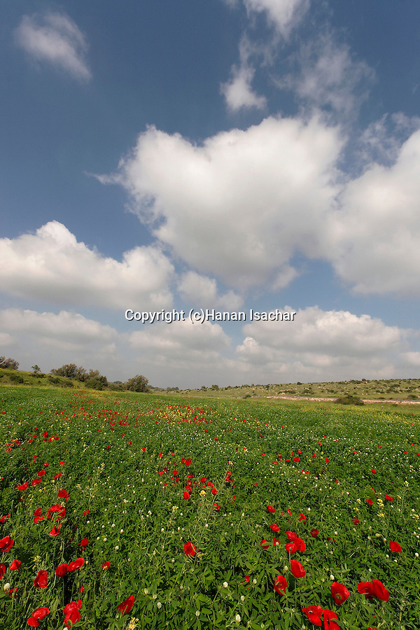 Israel, Shephelah region. Flowers by route 353